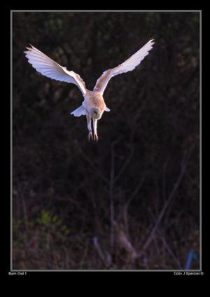 barn owl 1 colin spencer