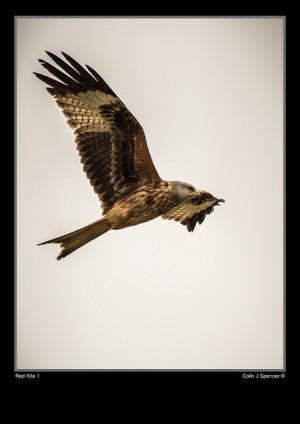 red kite colin spencer