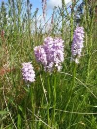Marsh Orchids 1