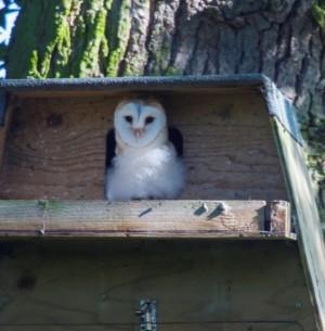 Owlet July 2015